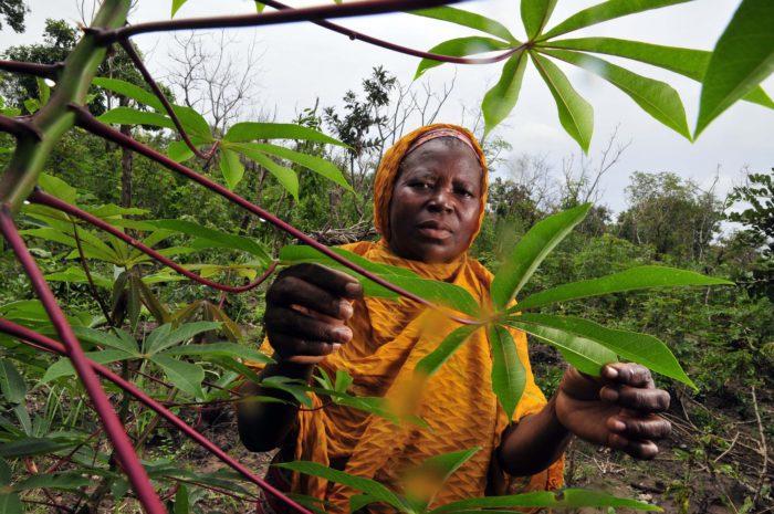 A cassava farmer in Ghana's Northern Region. (Neil Palmer with CIAT via Flickr)